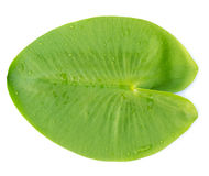 Green leaves water lily Royalty Free Stock Image