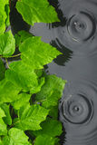 Green leaves in water  in the rain Royalty Free Stock Photo