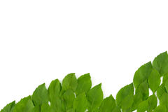 Green leaves wave on white background. With copy space Royalty Free Stock Images