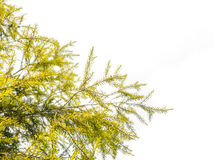 Green leaves, Weeping Willow tree Royalty Free Stock Images