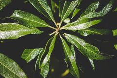 Natural green leaves on a plant. Green leaves well lit against a black background Royalty Free Stock Photos
