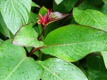 Green leaves. Wet green leaves and red flower royalty free stock images