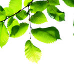 Green leaves on white. Background Royalty Free Stock Photos