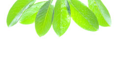 Green leaves on white Royalty Free Stock Image