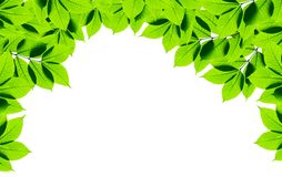 Green leaves on white background Royalty Free Stock Images