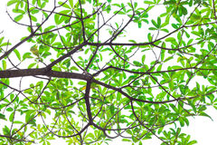 Green leaves on white background. Royalty Free Stock Images