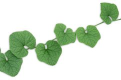 Green leaves. Green leaves with white background Stock Photos