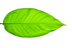 Green Leaves on white Background Stock Photos