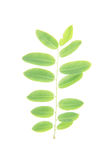 Green leaves on white background. The green leaves on white background stock photo