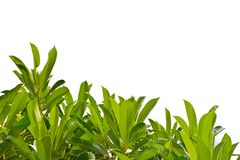 Green leaves. On white background Royalty Free Stock Photo