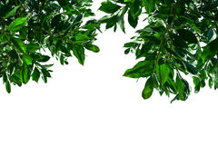 Green leaves on a white background. Green leaves on a white background Royalty Free Stock Image