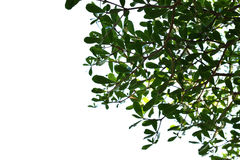 Green leaves on the white background. Green leaves on the white background Royalty Free Stock Images