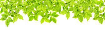 Green leaves white background Floral banner Royalty Free Stock Image