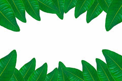 Green leaves on white background Stock Images