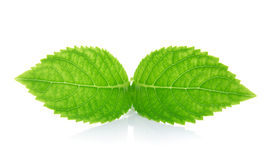 Green leaves on a white background Stock Photo