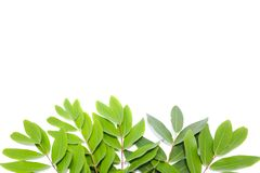 Green Leaves On White Background. Fresh green basil leaves on white background, top view Royalty Free Stock Photography