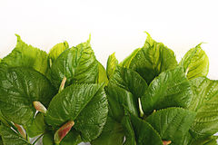 Green leaves on a white background Stock Images