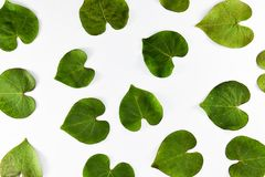 Green leaves on a white background. It is heart-shaped. royalty free stock images