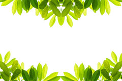 Green leaves on a white background. Isolated Royalty Free Stock Photography