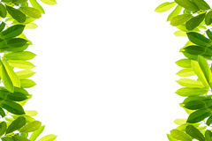Green leaves on a white background. Isolated Royalty Free Stock Photo