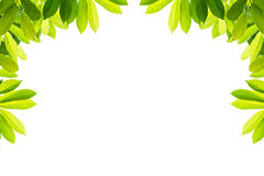 Green leaves on a white background. Isolated Royalty Free Stock Images