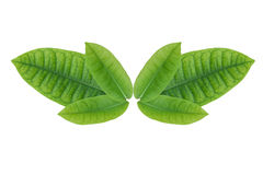 Green leaves, white background. Stock Photography