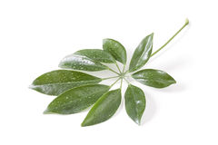 Green leaves on white background Stock Photography