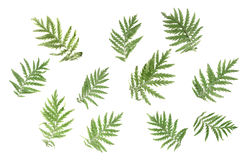 Green leaves on a white background Royalty Free Stock Photo