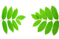 Green leaves on white background. Rowan Sorbus aucuparia leaves isolated on white background stock image