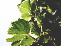 This is green leaves on white background,  soft tone Stock Image