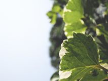 This is green leaves on white background,  soft tone Stock Photos
