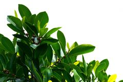 Green leaves on a white background using wallpapers or backgrounds for more text on an image. Royalty Free Stock Image