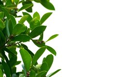 Green leaves on a white background using wallpapers or backgrounds for more text on an image. Stock Photos