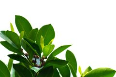 Green leaves on a white background using wallpapers or backgrounds for more text on an image. Royalty Free Stock Images