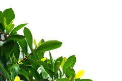 Green leaves on a white background using wallpapers or backgrounds for more text on an image. Stock Photo