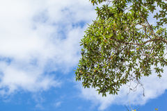 Green leaves on white and blue cloud-sky background. Tropical Green leaves on white cloud-sky background Royalty Free Stock Images