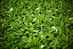Green leaves with white flower petals. Frame filled with green leaves with white flower petals Royalty Free Stock Image