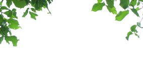 Green leaves on white. Background stock footage