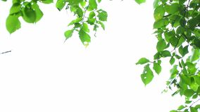 Green leaves on white. Background stock video footage