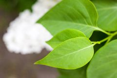 Green leaves of the white lilac bush. Green leaves of the white lilac Syringa bush in the spring garden. Close-up royalty free stock photo