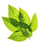 Green leaves with white specks. Studio Photo Stock Photo