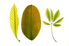 Green leaves, white studio background Stock Image