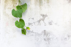 Green leaves on white wall Royalty Free Stock Images