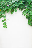 Green leaves on white wall Royalty Free Stock Image