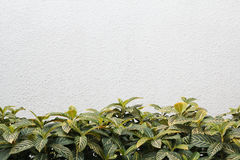 Green Leaves And White Wall. Green Leaves And White Wall, Abstract Texture Background Royalty Free Stock Photo