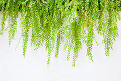 Green leaves on white wall use as background,backdrop Stock Image
