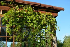 Wild grapes on the sun porch stock photo