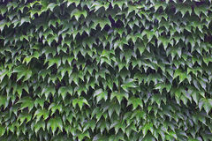 Green leaves of wild grapes on a wall Royalty Free Stock Photos