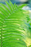 Green leaves of wild young fern for background Stock Photos