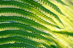 Green leaves of wild young fern for background Royalty Free Stock Photography